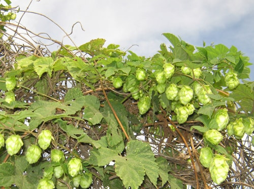 Hops, contained in beer, has a calming effect